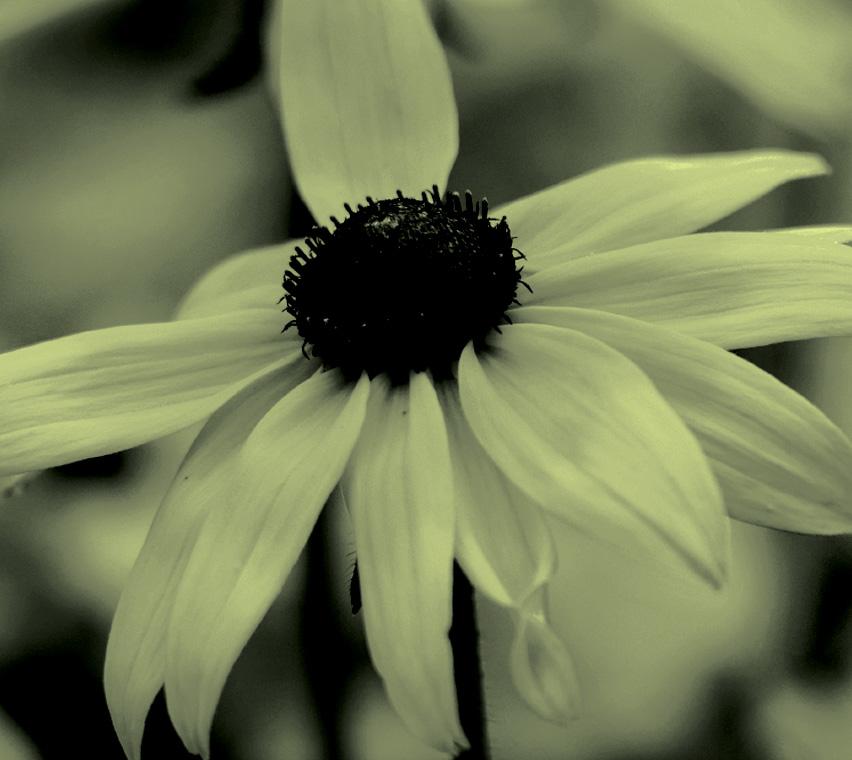 Sweet Betty Flower